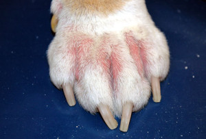 cornell_rf_photo_of_dogs_paw_with_allergy