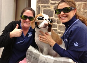 Frankie is ready for a cold laser therapy treatment to help with stiffness in his back.