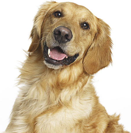 Golden retriever smiling with clean teeth